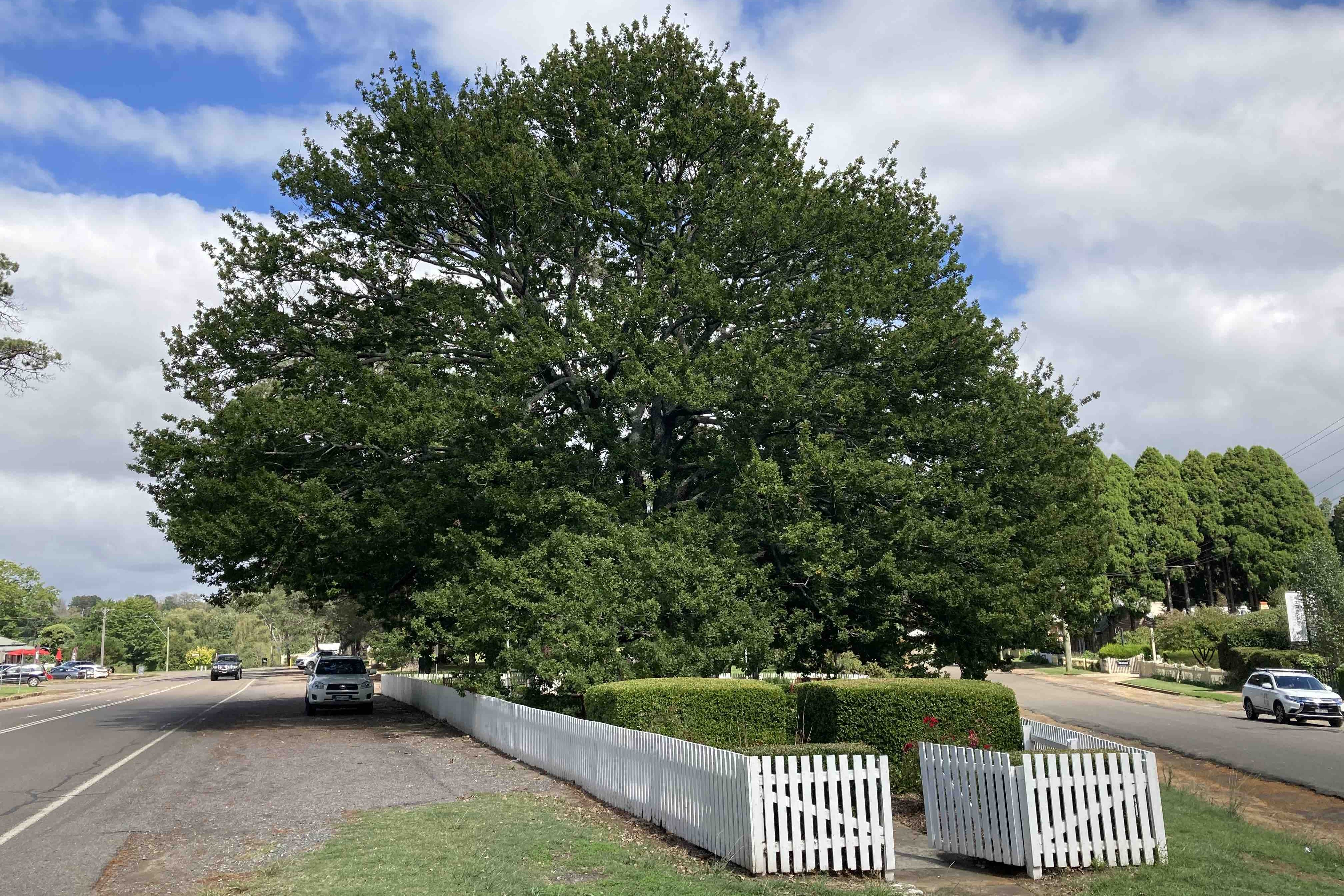 1890 oak tree Berrima park