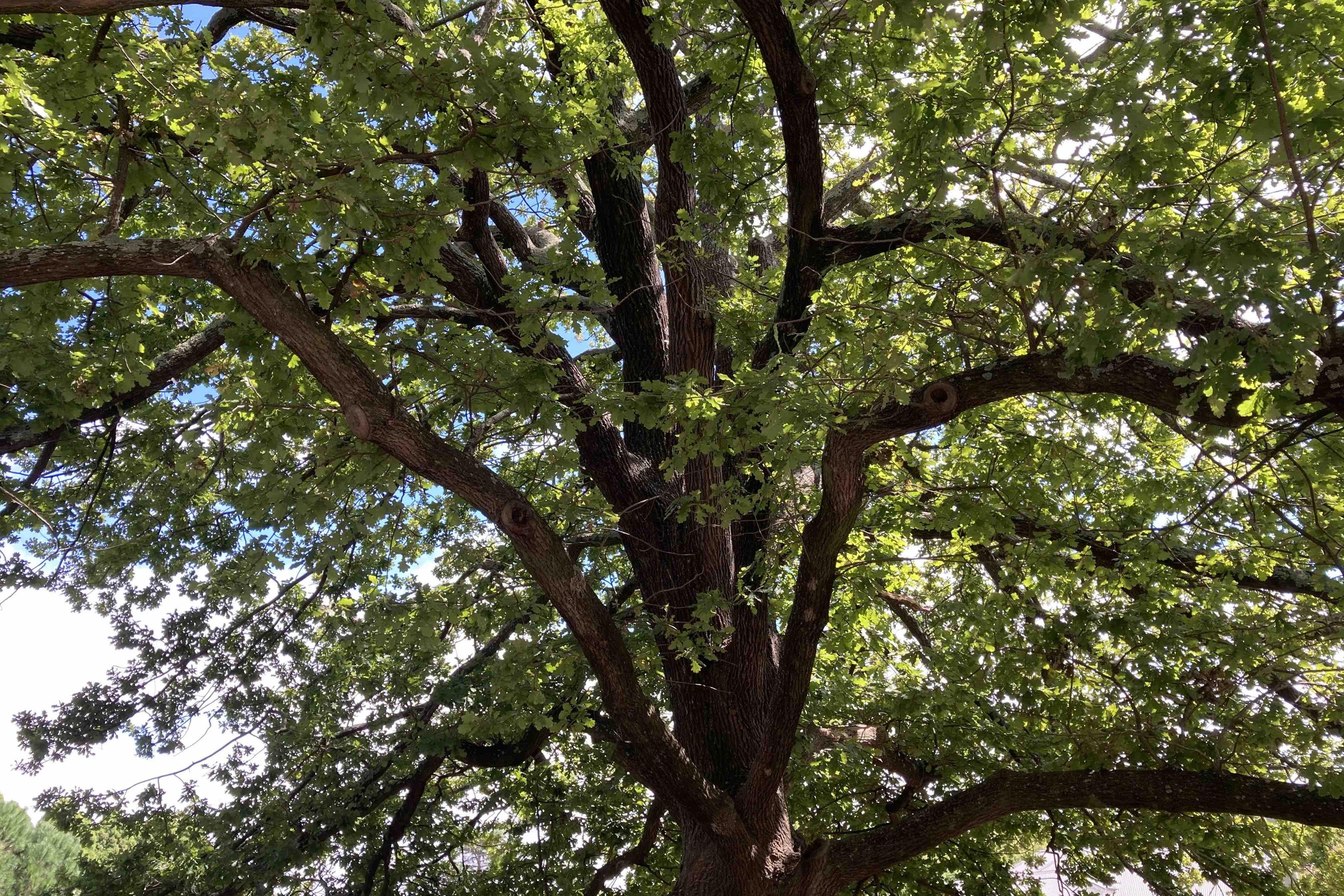 Oak tree branches Berrima